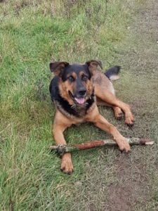 Kates K9 Companions - dog sitting, pet sitting, dog walking, house sitting, chichester, west sussex - Boo the Shepherd Rottweiler cross lying down in the woods with a stick