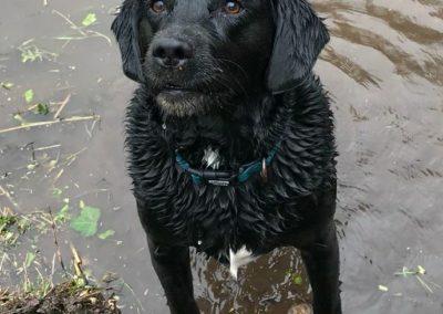 Kates K9 Companions - black labrador in water